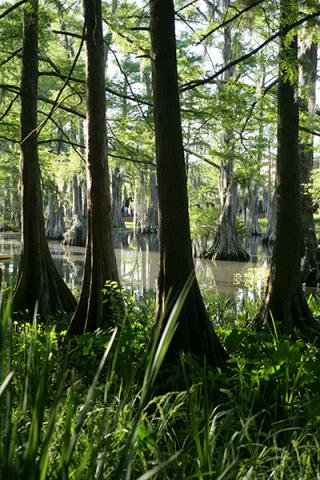 Cypress Lake Photo